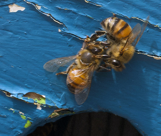 The bee is chased away or quickly set upon