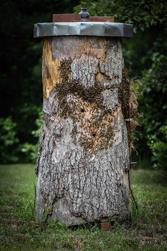 Wild colonies in a tree and log hive