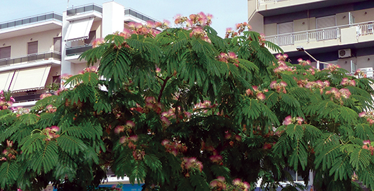 Silk tree are commonly found planted along streets.