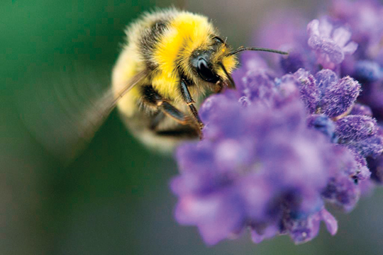 A male white-tail bumblebee enjoys a visit to lavender.