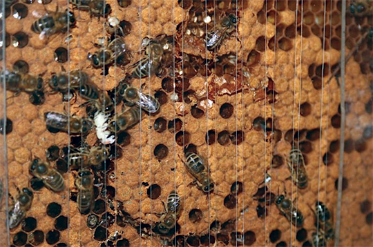 Honeybees removing dead pupae during hygienic behaviour test. (Photo by Dr Hasan Al Toufailia, University of Sussex).