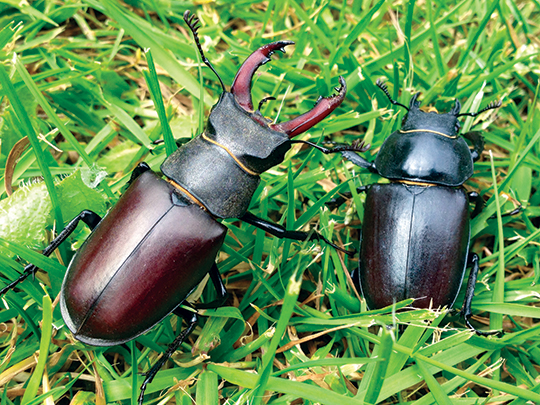 Male (left) and female (right) stag beetles (photo: Ross Bower).