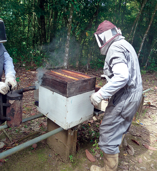 Opening an Africanised bee colony in Emmanuel D'Andrade's Trinidad apiary, and a frame of its brood