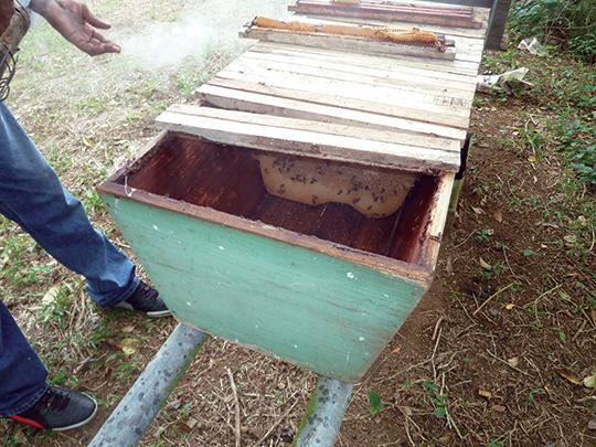 A top bar hive at Gladstone Solomon's apiary at Hope. Right page: Extracting honey from top bar hive combs:
